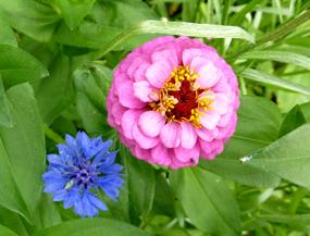 flower pics cornflower purple flower