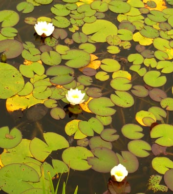 three waterlilies and leaves