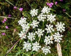 free flower clip art white flower