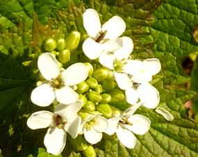clip art flowers small white flower