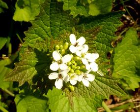 free flower clip art small white flower