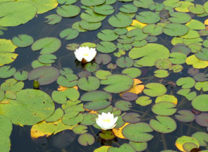 Scenery with white waterlilies