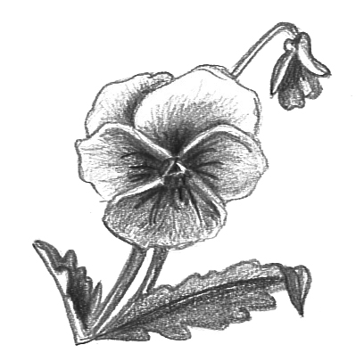 flower sketches pansy
