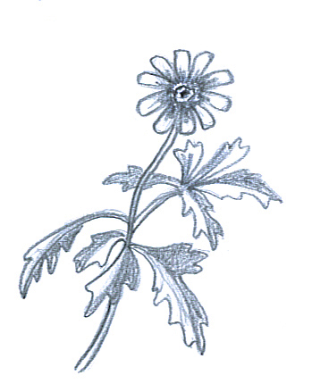 flower sketches anemone hepatica