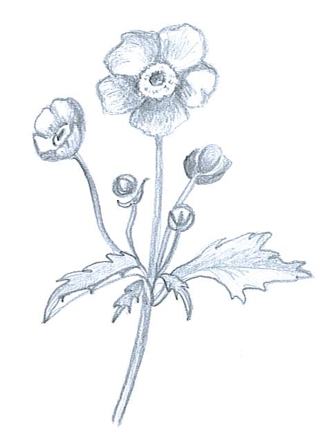 flower sketches anemone japonica
