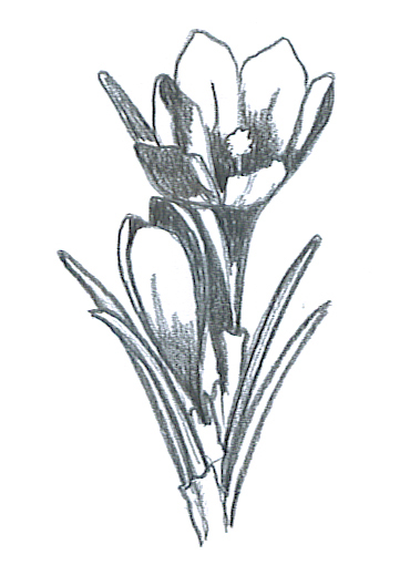 flower sketches crocus