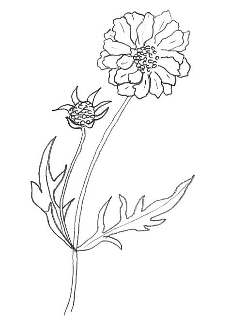 scabiosa caucasica flower sketches