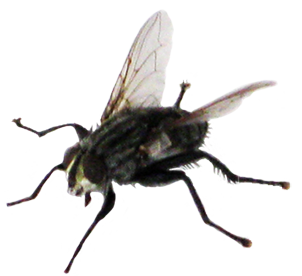 clip art of fly