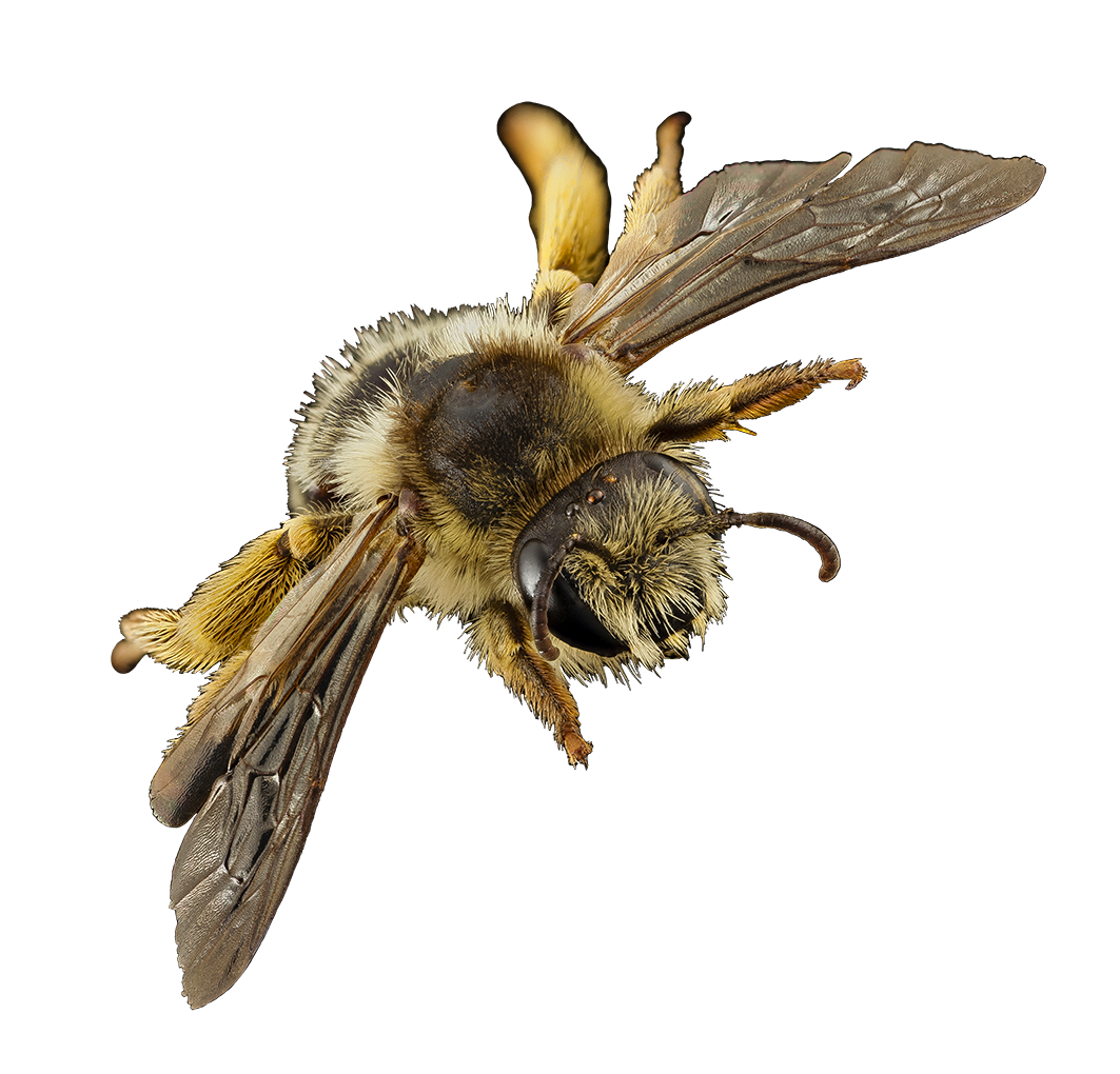 flying bee image