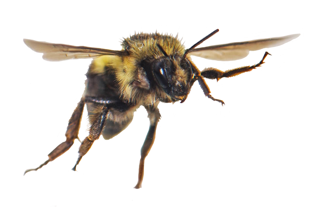 flying honey bee clipart