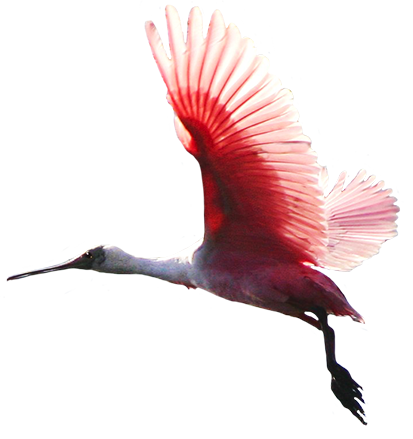 flying pink bird