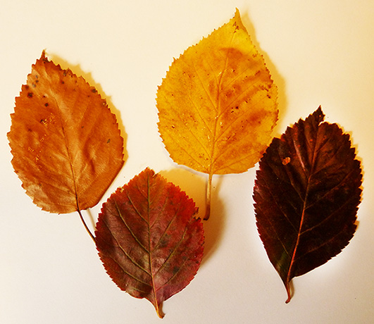 four fall leaves different colors