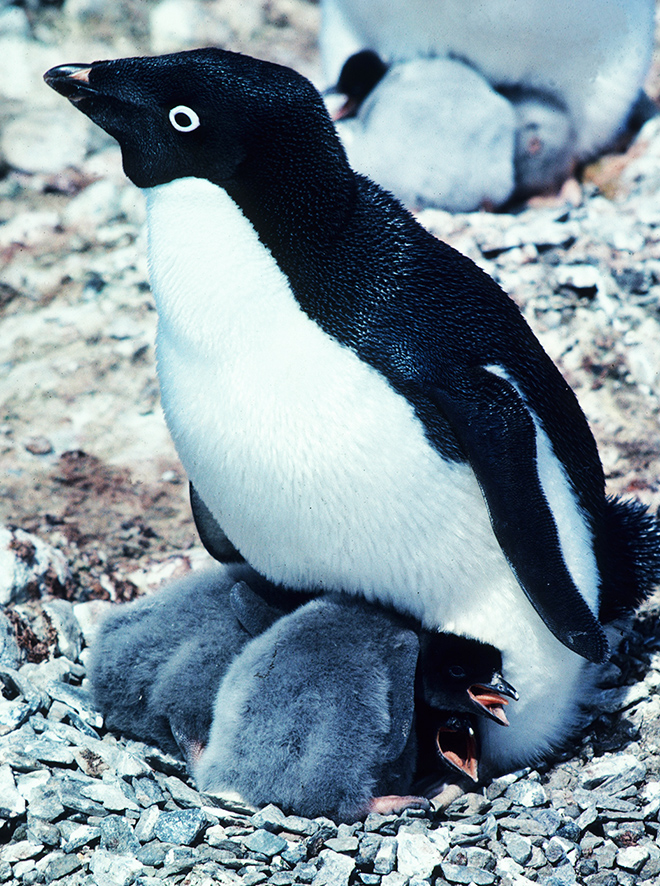 free penguin pictures adelie with chicks