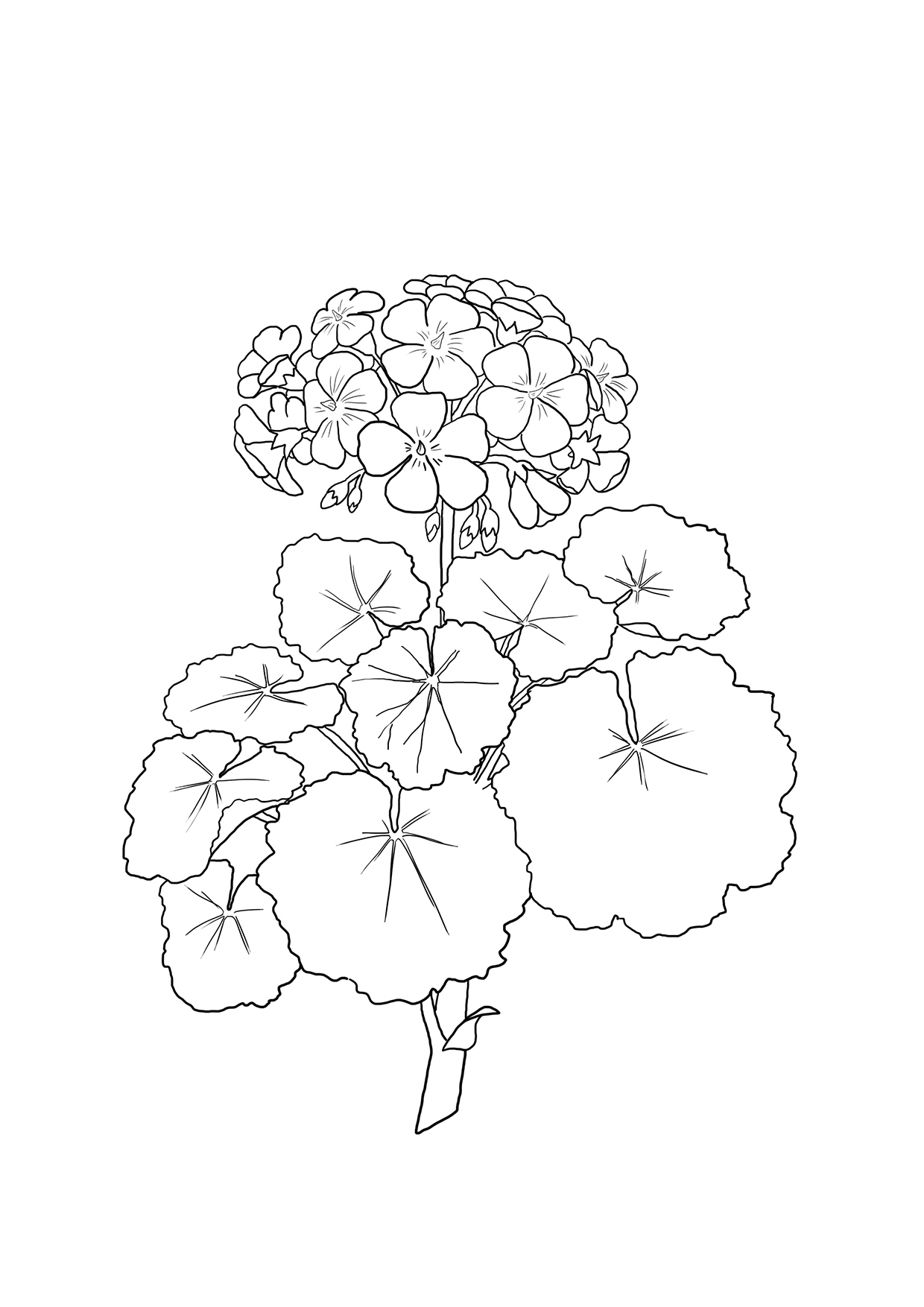geranium flower drawing