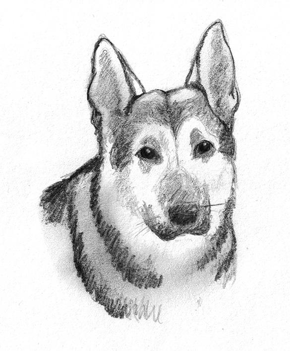 German shepherd dog sketch