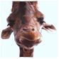 giraffe facts head of giraffe
