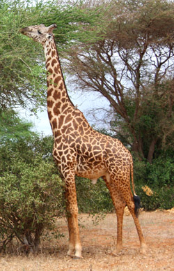 giraffe facts long neck tall giraffe