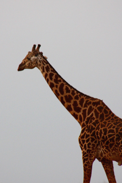 giraffe facts neck of giraffe