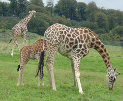 giraffe facts three giraffes