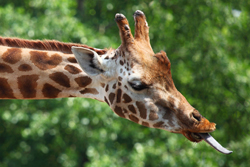 giraffe facts tongue