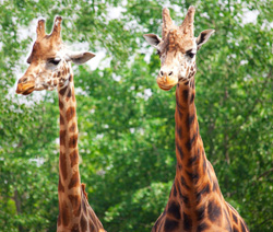giraffe facts two giraffes
