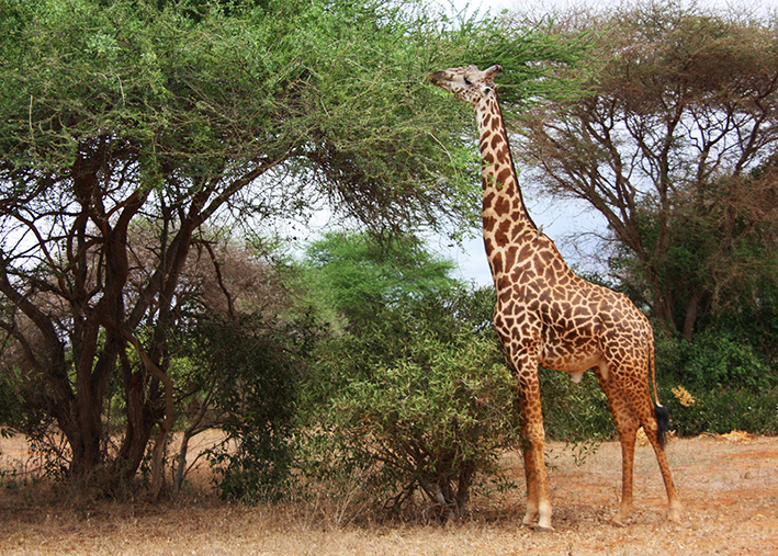 giraffe photo from the bush