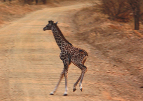 baby giraffe crossing road