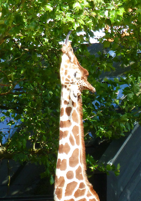 giraffe eating leaves with tongue