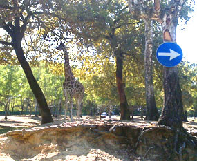 giraffe photos that way