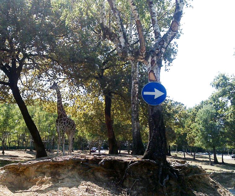 giraffe photos that way