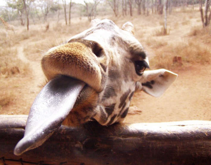 funny giraffe picture with tongue