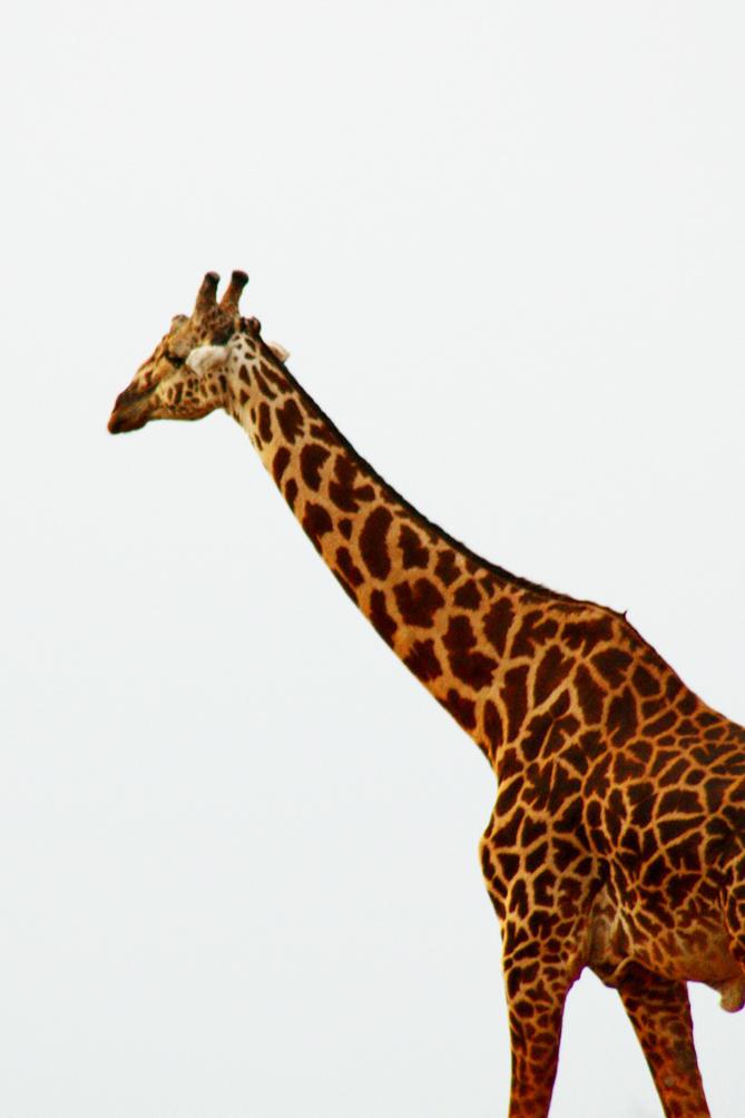 giraffe pictures walking