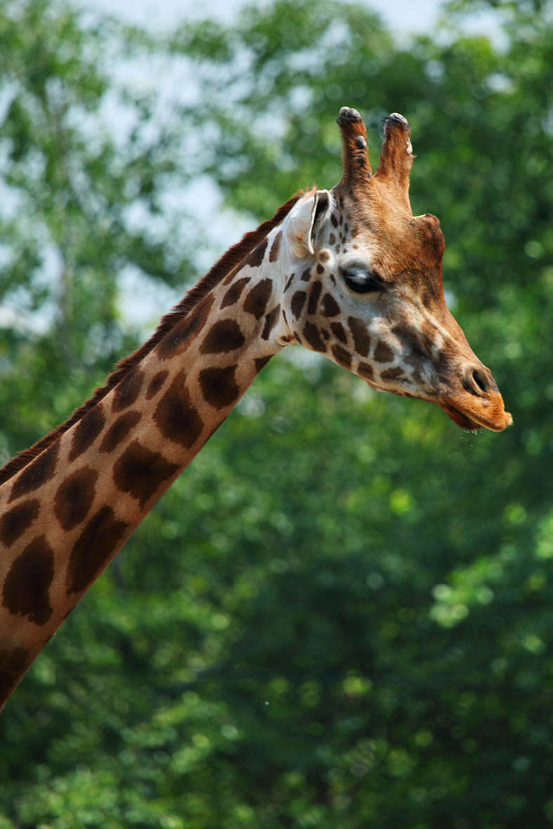 Cute giraffe picture