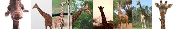 giraffe pictures border