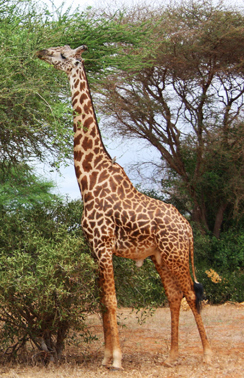 male giraffe eating leaves from trees