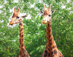 giraffe pictures two giraffes