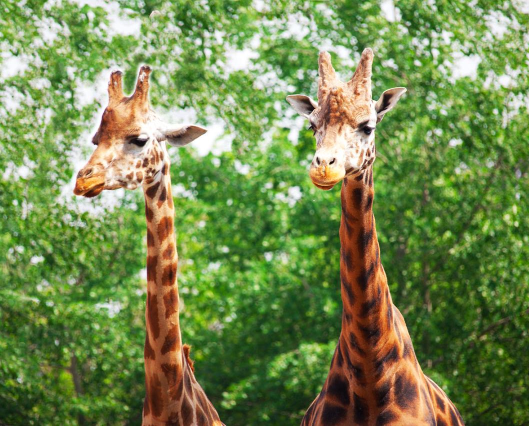 giraffe pictures two giraffes