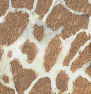 skin pattern of West African giraffe