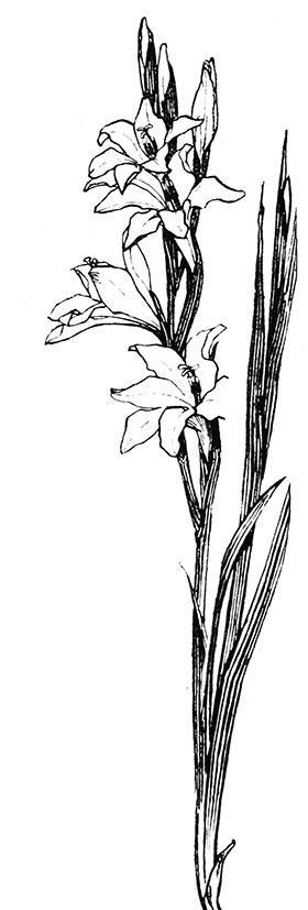 gladiolus drawing