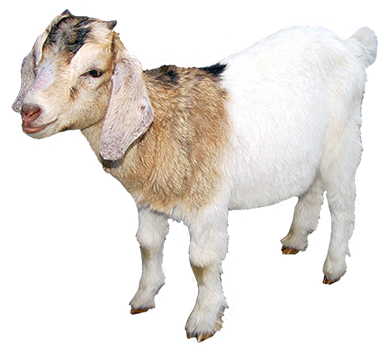 small-goat-clipart