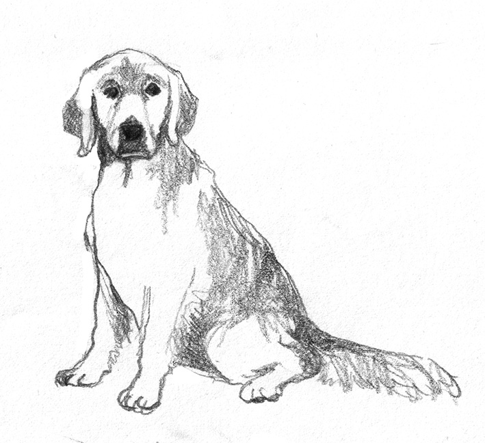Pencil drawings of dogs drawing of dog golden retriever