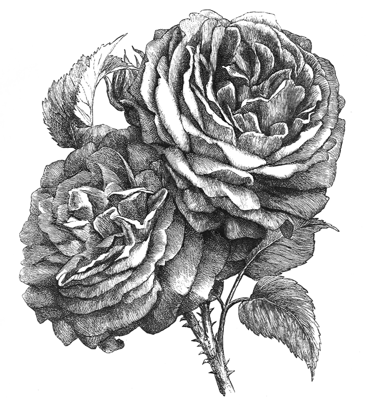 Rose drawing black white