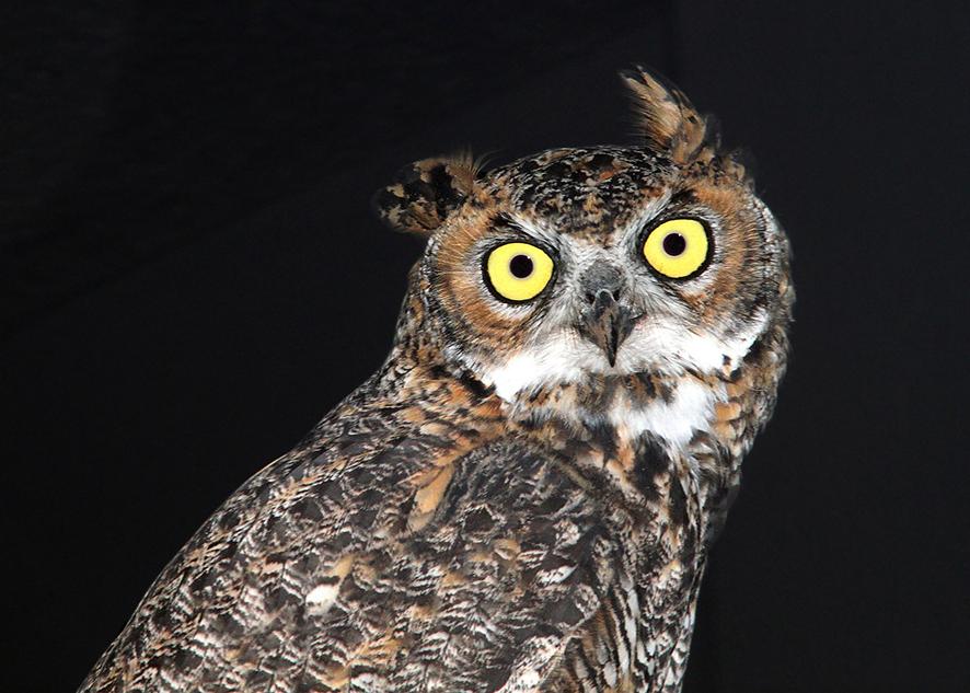 owl eyes reflecting light at night
