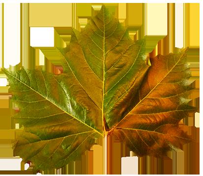 green leaf autumn clipart