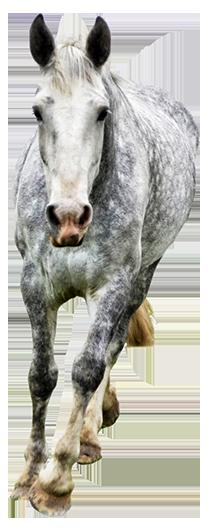 grey horse running