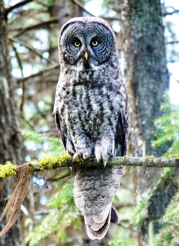 owl pictures grey owl