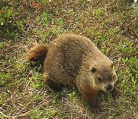 photo of groundhog
