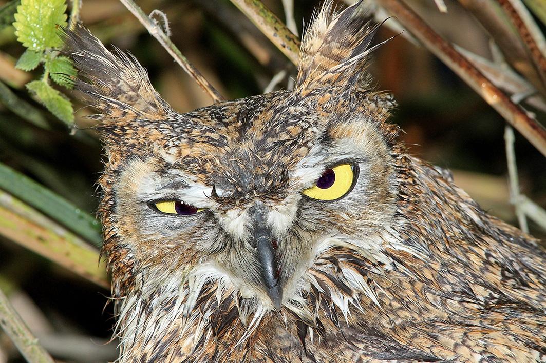 grumpy great horned owl picture