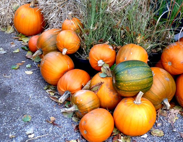 loads of pumpkins for halloween