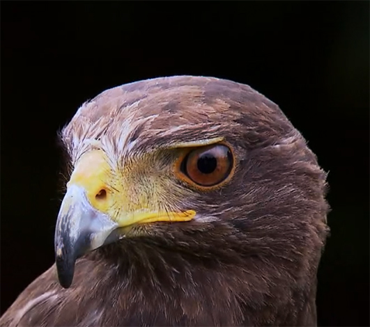 Harris's Hawk protrait